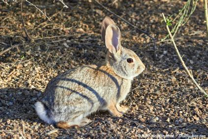 Desert cottontail (Sylvilagus auduboni), Riparian Preserve at Water Ranch, Gilbert, Arizona, USA.