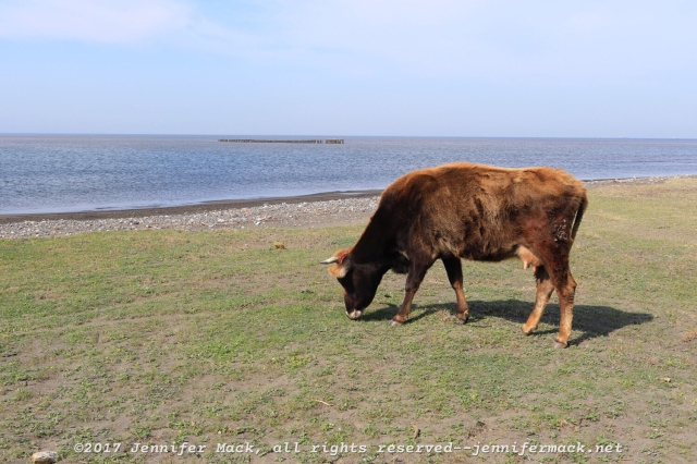 A cow. With the Black Sea in the background.